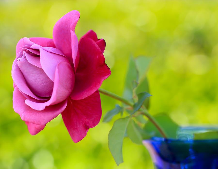 Flower Photograph - A Single Rose by Heidi Smith