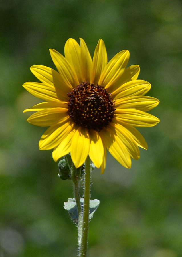 a single sunflower photograph by jill baum, Beautiful flower