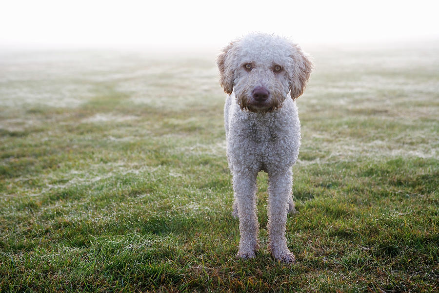 Horizontal Photograph - A Spanish Water Dog Standing A Field by Julia Christe
