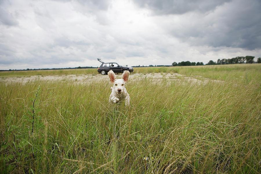 Horizontal Photograph - A Spanish Waterdog Running Through A Field by Julia Christe