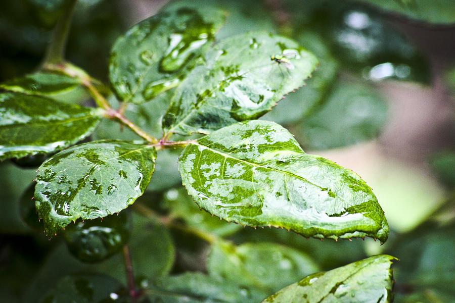 Leaves Photograph - A Splash Of Green by Steve Buckenberger