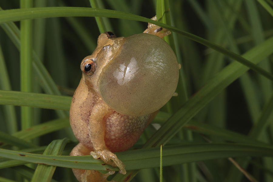 Maryland Photograph - A Spring Peeper Faces The Camera by George Grall
