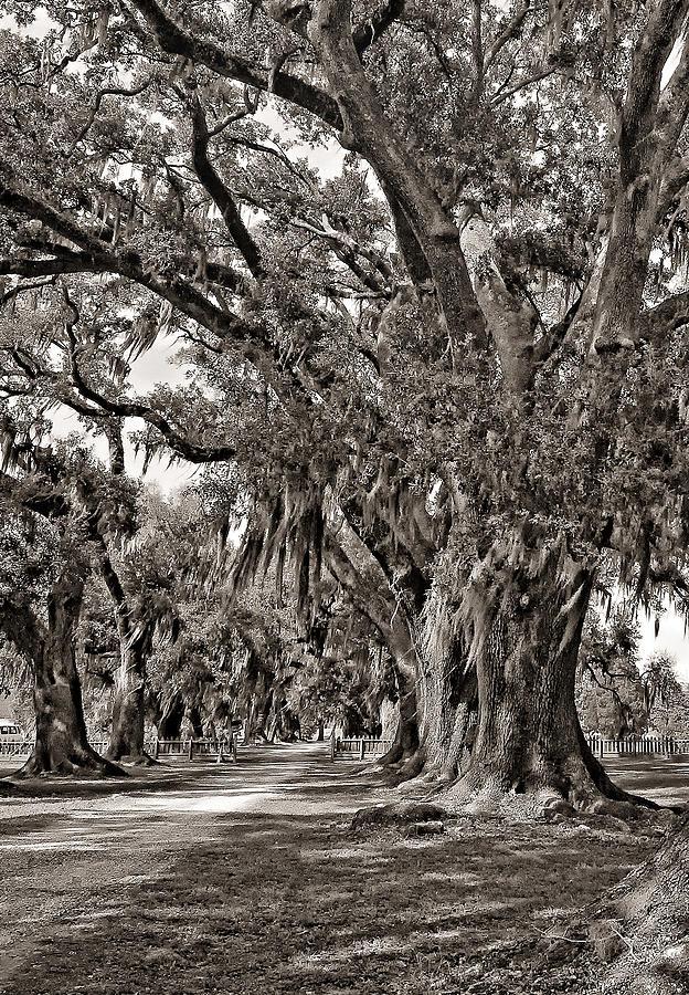 Evergreen Plantation Photograph - A Stroll Through Time Monochrome by Steve Harrington