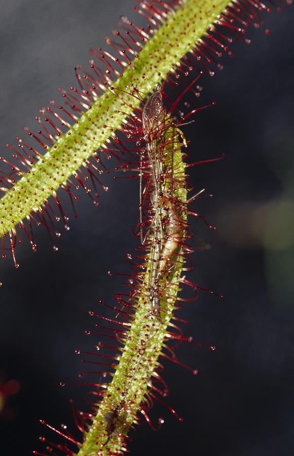 Springvale Photograph - A Sundew Carnivourous Plant, Drosera by Jason Edwards