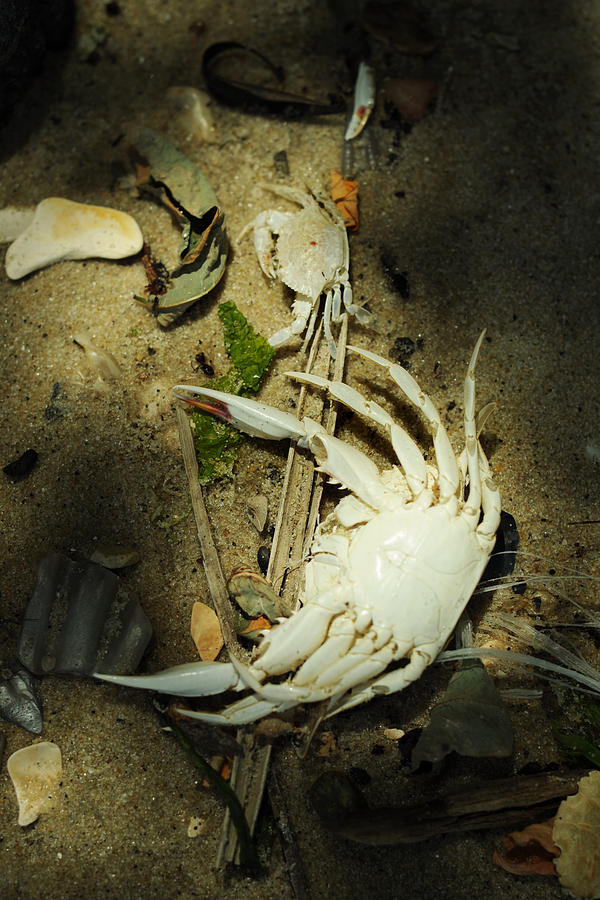 Blue Crab Photograph - A Time To Shed by Rebecca Sherman
