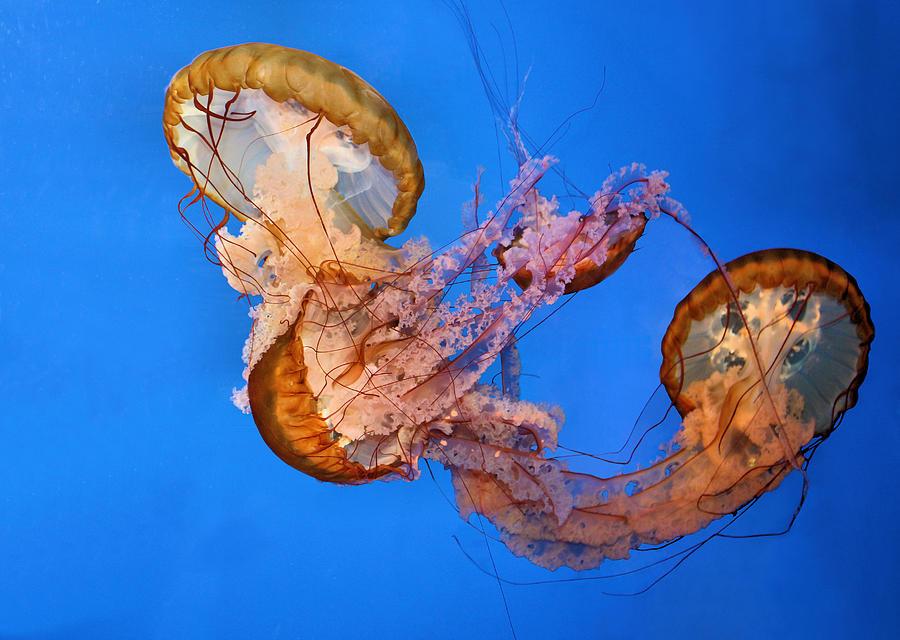 Jellyfish Photograph - A Trio Of Jellyfish by Kristin Elmquist