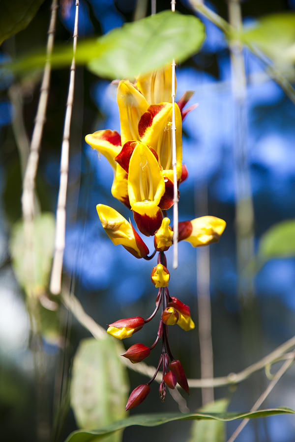 a tropical vine hangs beautiful flowers photograph by taylor s, Natural flower