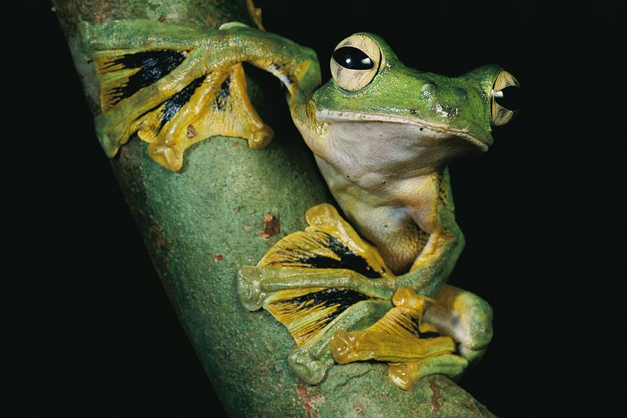 Outdoors Photograph - A Wallaces Flying Frog, Rhacophorus by Tim Laman