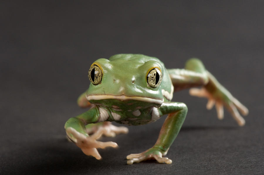 Property Released Photography Photograph - A Waxy Monkey Frog Phyllomedusa by Joel Sartore