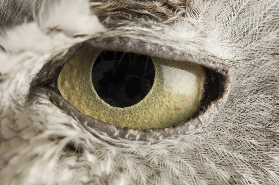 Zoo Photograph - A Western Screech Owl Otus Kennicottii by Joel Sartore