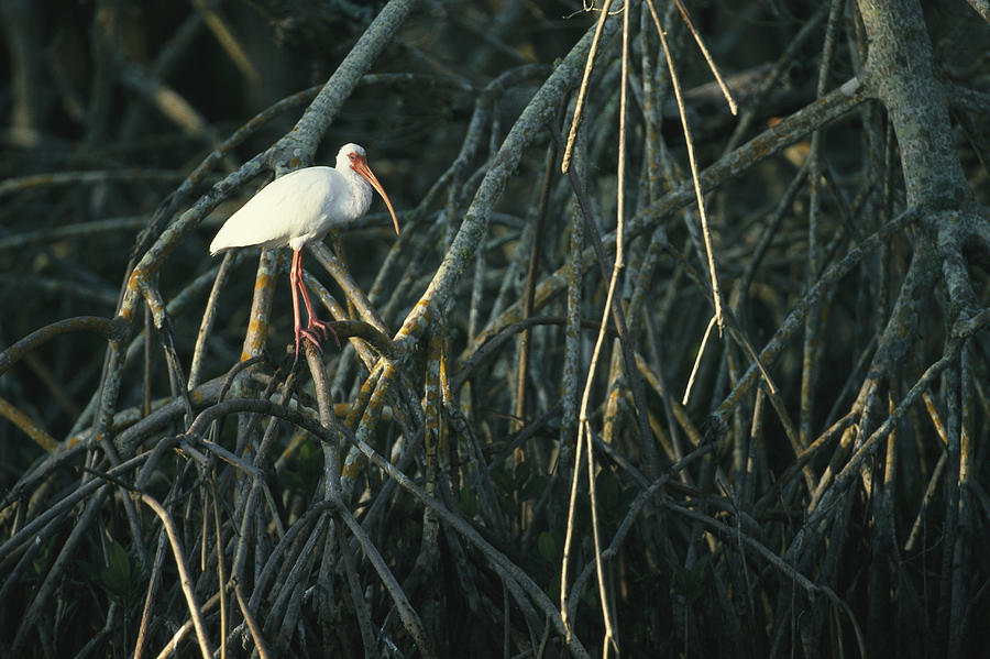 Animals Photograph - A White Ibis Perches On A Mangrove Tree by Klaus Nigge