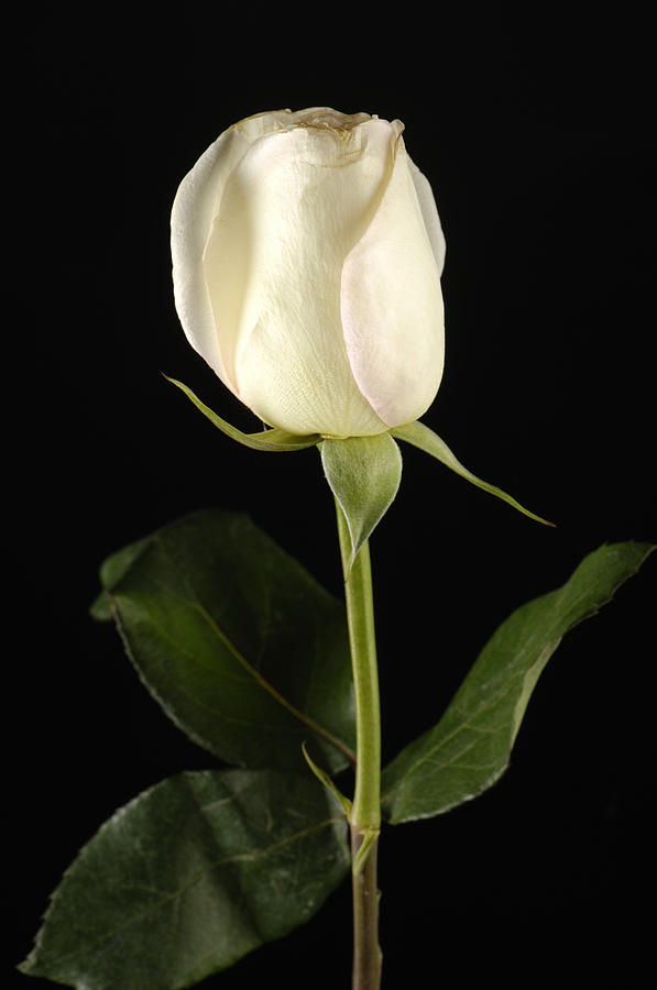 Nature Photograph - A White Rose Rosaceae by Joel Sartore