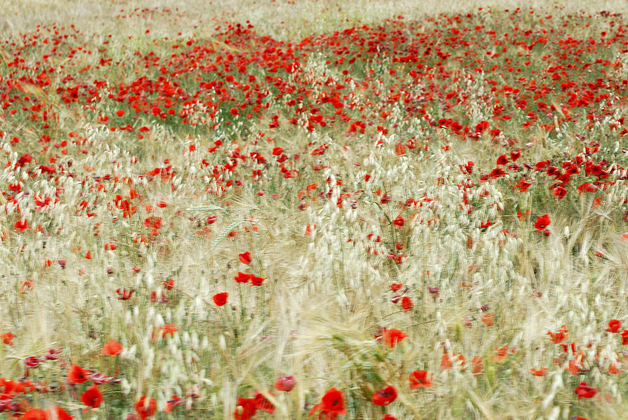 Poppy Photograph - Abstract Poppies by Guido Montanes Castillo