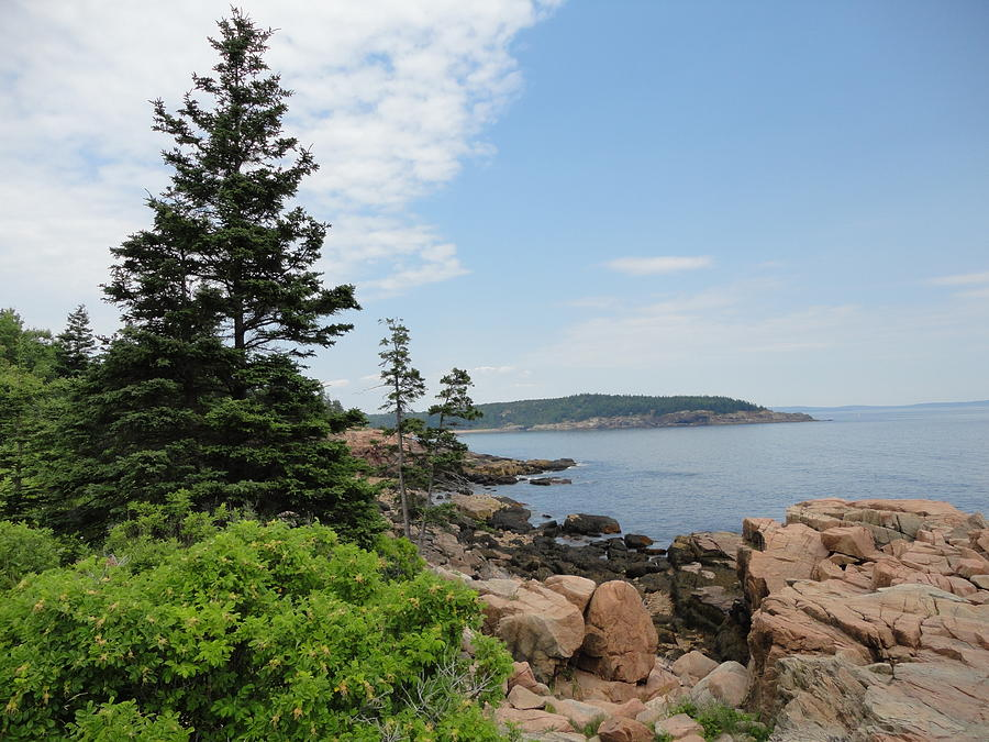 Acadia Tree Photograph By Pasha Sourbeer