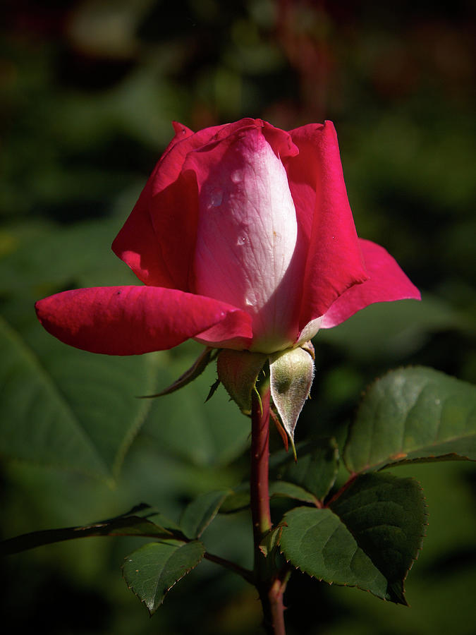 Ke Photograph - Acapella Rose 1 by Jouko Lehto