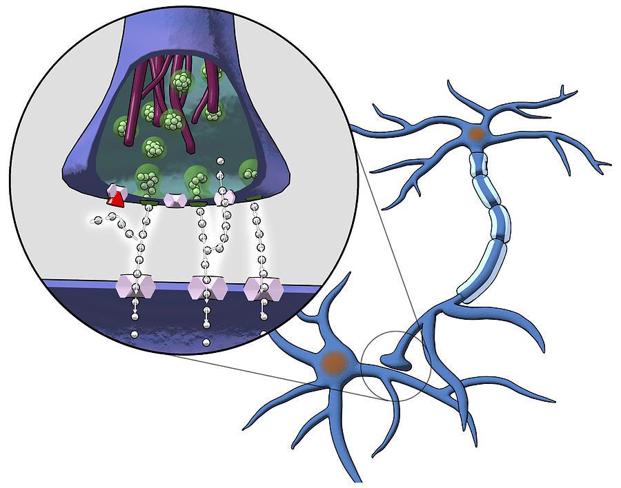 Ssris Photograph - Action Of Serotonin Reuptake Inhibitors by Equinox Graphics