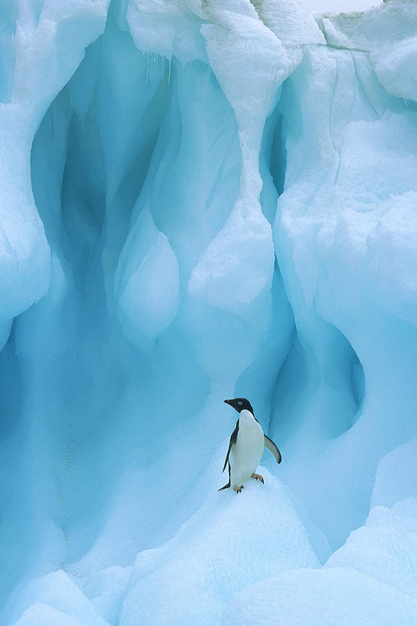 Adelie Penguin on Iceberg Photograph by Colin Monteath