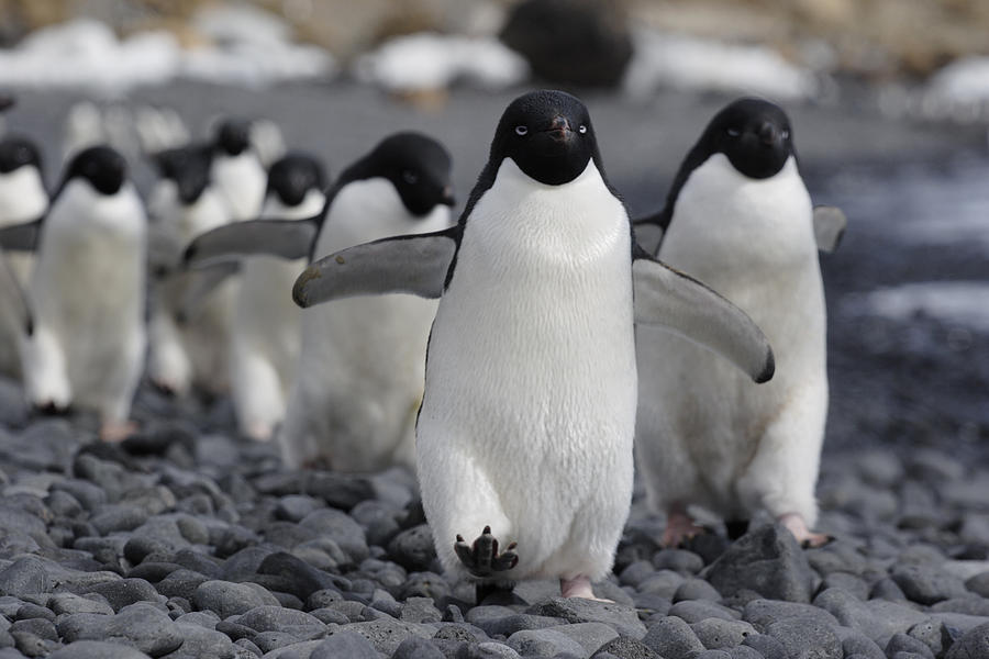 Adelie Penguin Pygoscelis Adeliae Group Photograph By