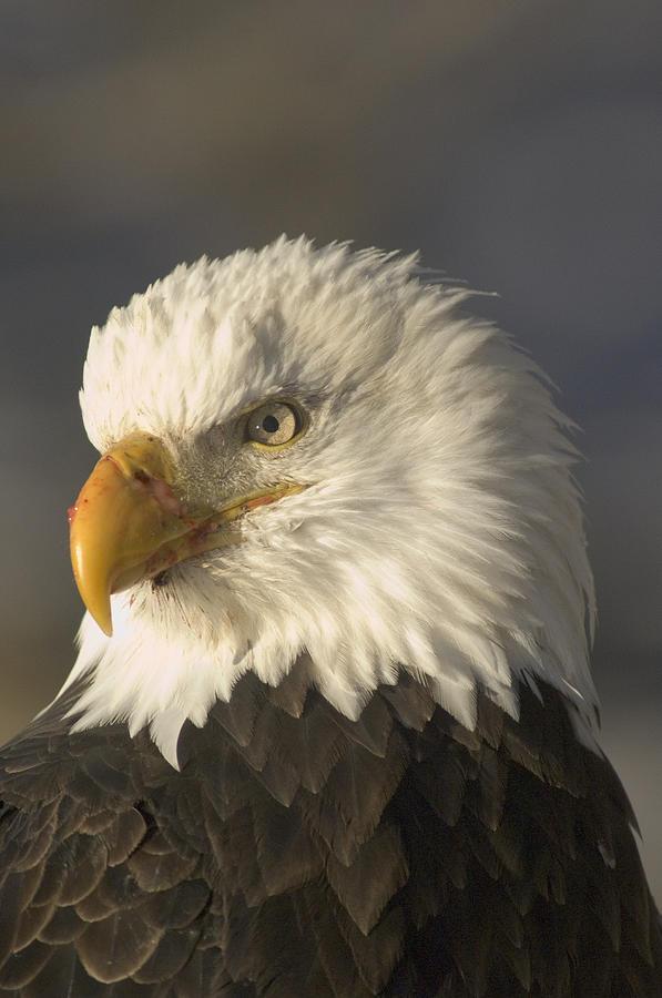 Nobody Photograph - Adult Bald Eagle by Michael S. Quinton