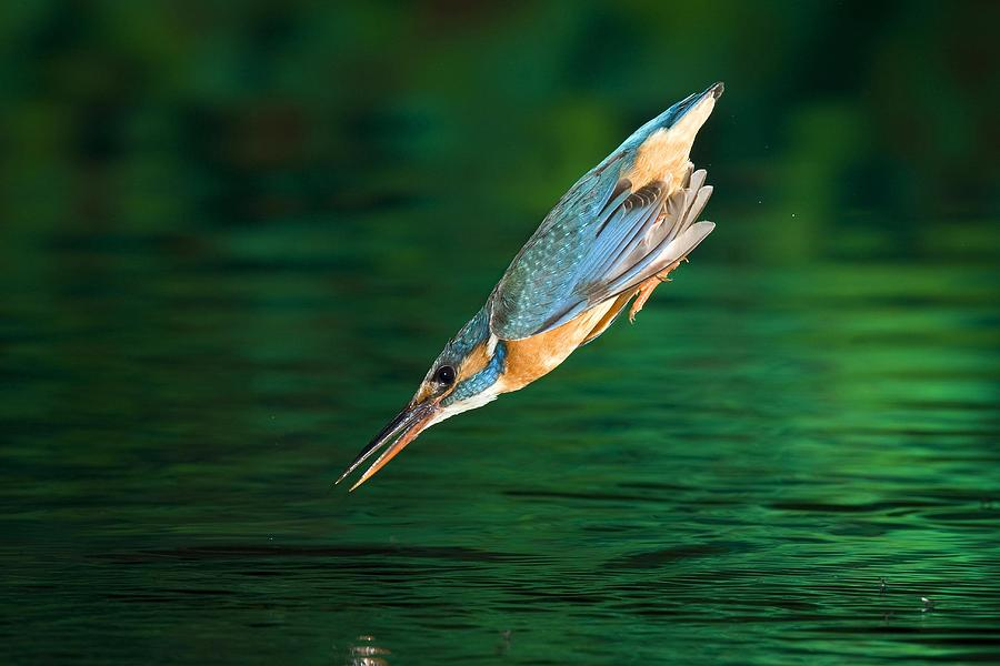 Adult Female Common Kingfisher Alcedo Photograph By Joe