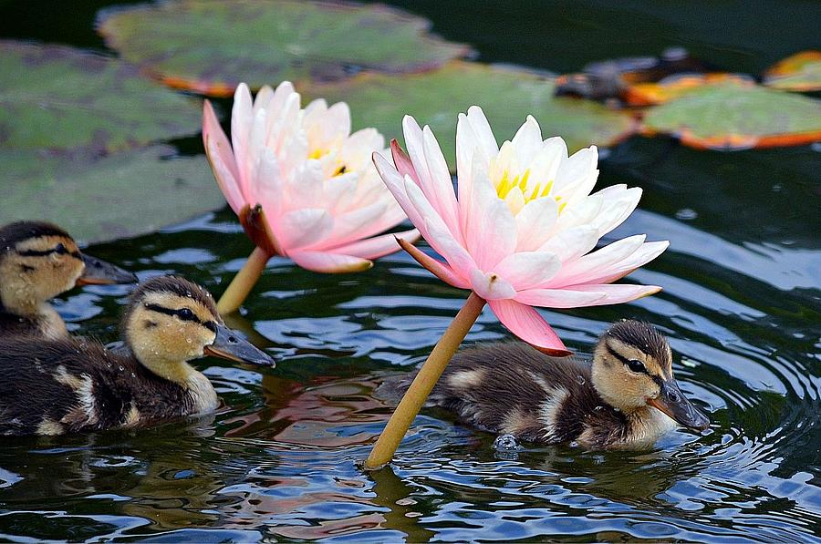 Ducklings Photograph - Afloat Among Lillies by Fraida Gutovich