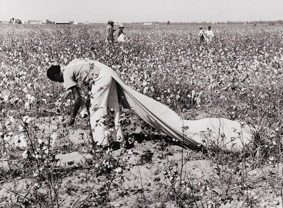 History Photograph - African American Day Laborer Picking by Everett