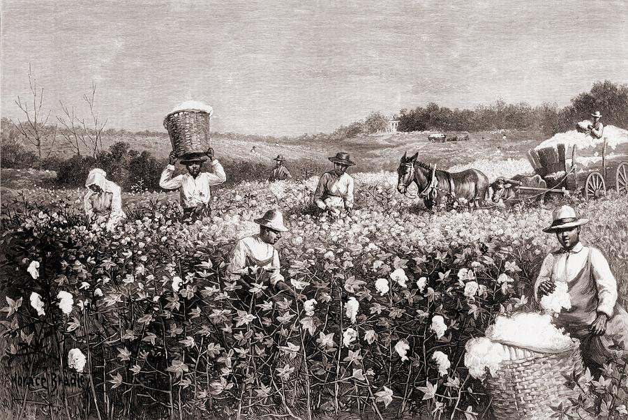 History Photograph - African Americans Picking Cotton by Everett