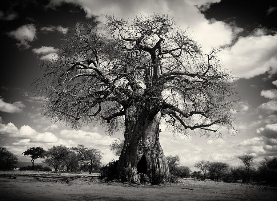 Baobab Framed Prints Photograph - African Baobabs Tree by Jess Easter
