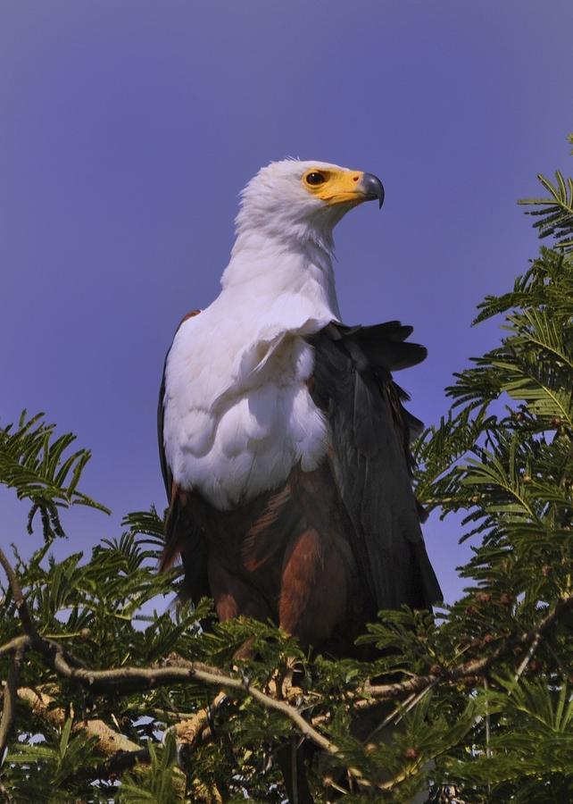 Eagle Photograph - African Fish Eagle by Richard Matthews