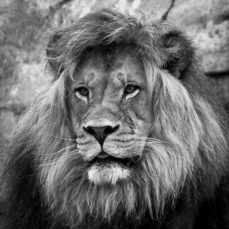 African Lion Black And White Photograph by Steve McKinzie