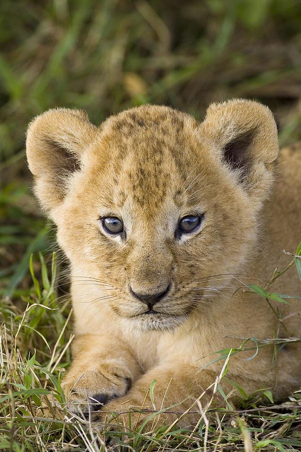 African Lion Cub Panthera Leo Photograph By Suzi Eszterhas