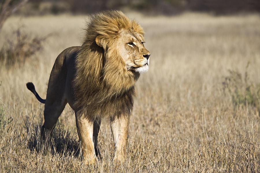 African Lion, Botswana Photograph by Vincent Grafhorst