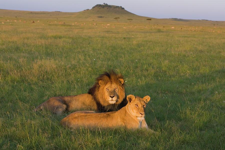 Mp Photograph - African Lion Panthera Leo Male by Suzi Eszterhas