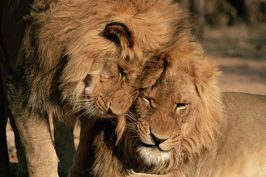 African Lion Panthera Leo Two Males, Mt Photograph by Michael & Patricia Fogden