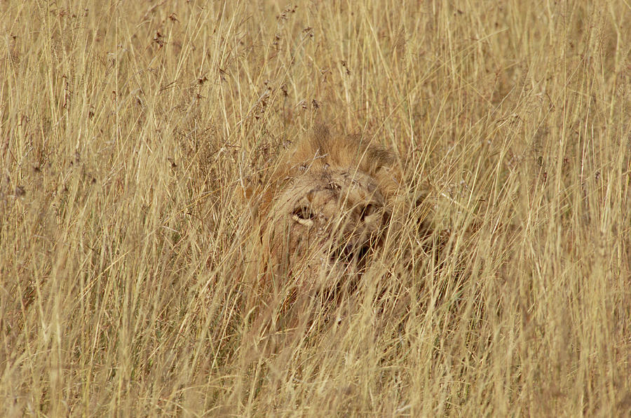 African Lion Panthera Leo Young Male Photograph By Gerry Ellis