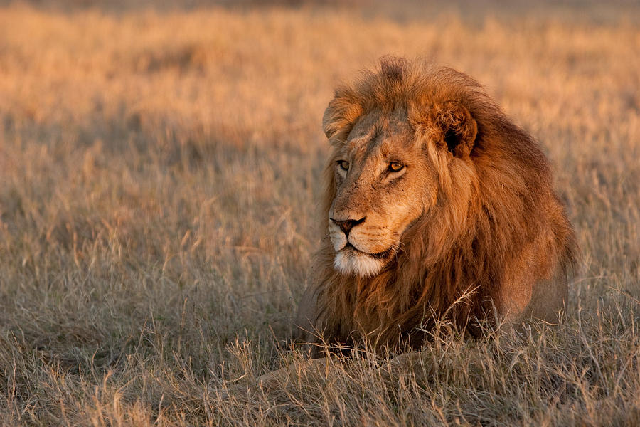 lion pictures to print