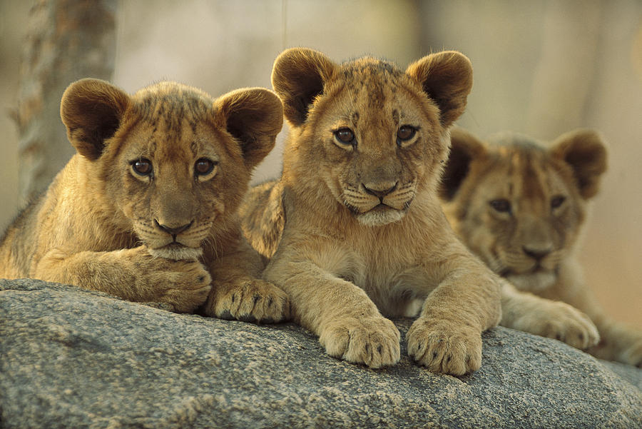 Africa Photograph - African Lion Three Cubs Resting by Tim Fitzharris