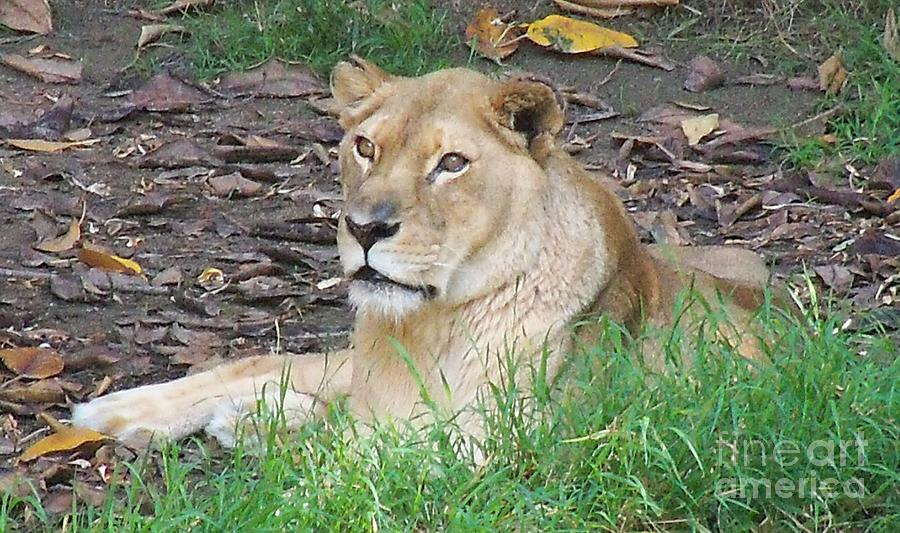 African Lioness by Lorrie Bible