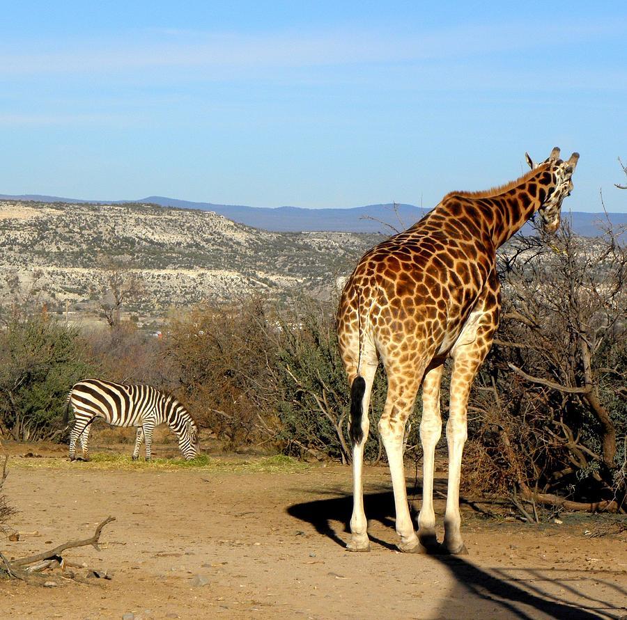 Giraffe Photograph - African Safari In Arizona by Kim Galluzzo Wozniak