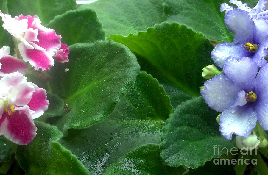 African Violets Photograph - African Violets Intertwined II by Nancy Mueller