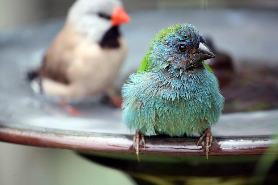 Birds Photograph - After The Bath by Andrea  OConnell