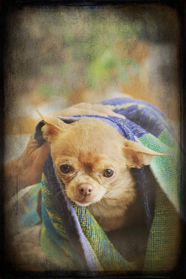 Chihuahua Photograph - After The Bath by Laurie Search