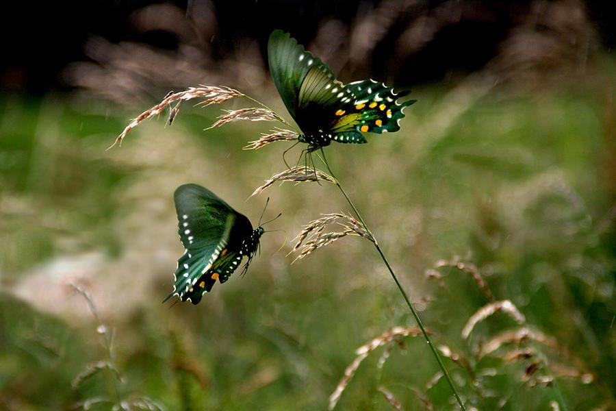 Fantail Butterfly Digital Art - After The Rain by Julie L Hoddinott