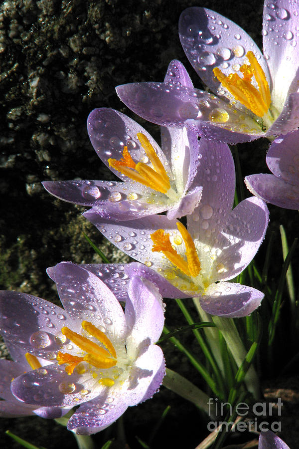 Flowers Photograph - After the shower by Frank Townsley
