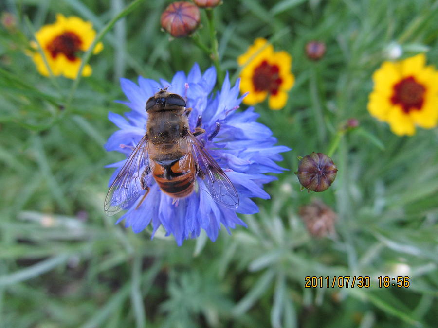 Bees Photograph - Afternoon Feeding by Tina M Wenger