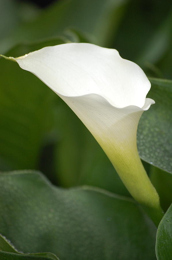 Pure Photograph - Afternoon Lily II by Dickon Thompson