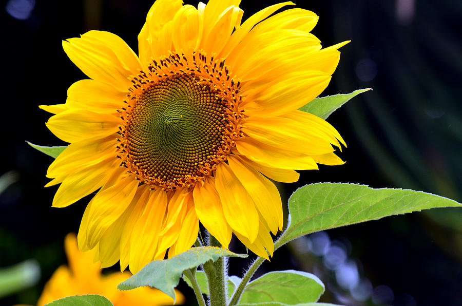 Sunflower Photograph - Against The Shadows by Fraida Gutovich