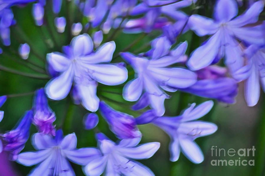 Agapanthus Photograph - Agapanthus by Gwyn Newcombe