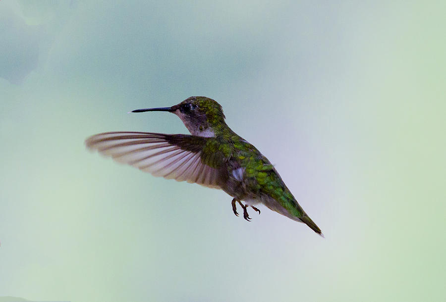 Hummingbird Photograph - Agile  by Dean Bennett