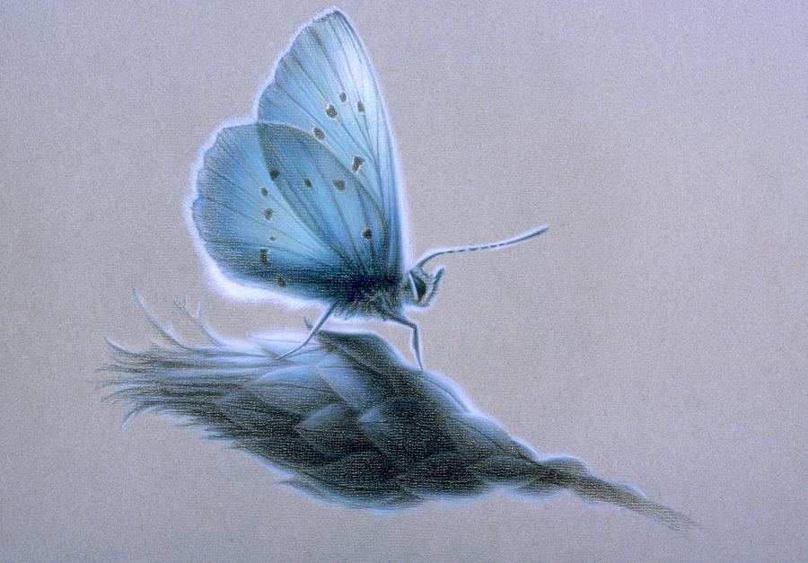 Butterfly Painting - Ainsae by Shawn Kawa
